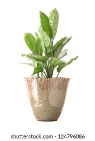 taro plant in vase on white background