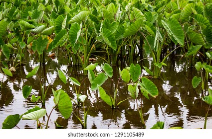 Taro Planted in Lo'i Polynesian Root Starchy Vegetable Horizontal