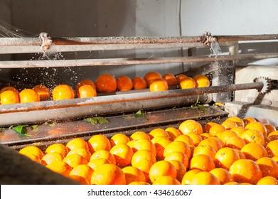 Orangenobst von Tarocco in einer Waschmaschine einer modernen Produktionslinie