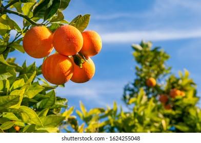 Tarocco oranges on tree against a blue sky during harvest season