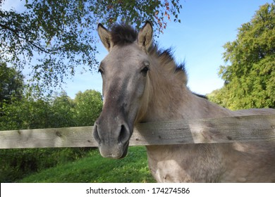 a tarpan horse looking over a wooden fence