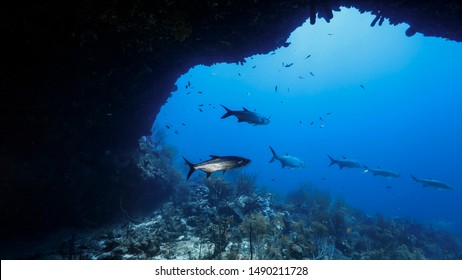 Tarpon around Tarponbridge in coral reef of Caribbean Sea around Curacao