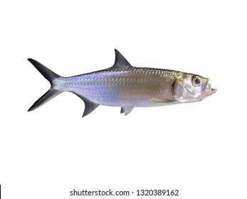 tarpon fish background