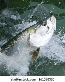 Tarpon fish with a big eye leaping from the water