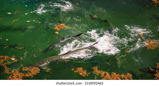 Tarpon fish go into a feeding frenzy in shallow waters at Key West