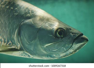 Tarpon Fish Up-Close