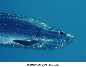 A Tarpon Swimming by in the Caribbean Sea