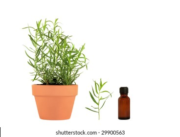 Tarragon herb growing in a terracotta pot with  leaf sprig and essential oil bottle, over white background.