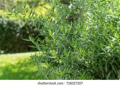 Tarragon shrub in garden
