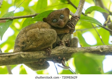 Tarsier baby with mum, Bohol island, Philippines