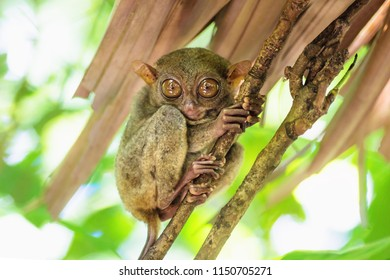 Tarsier with big eyes on a branch in Bohol, Philippines, Asia