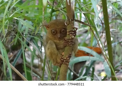 The tarsier in forest