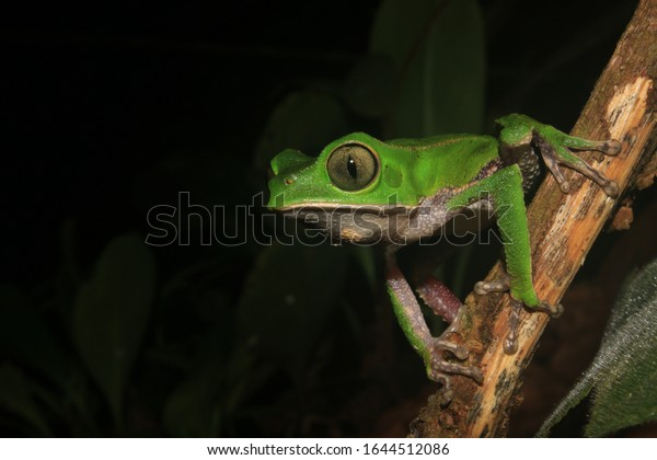 The tarsier leaf frog, Phyllomedusa tarsius, a bright green tree frog with a white belly in the rainforest