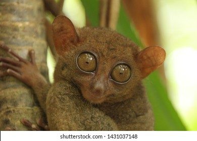 Tarsier Philippines in a Forest