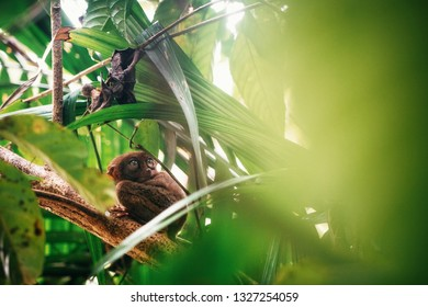 Tarsier sitting on branch with green leaves in jungle, Bohol island, Philippines.