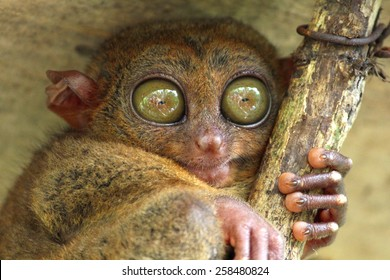 Tarsier sitting under the roof, Bohol island, Philippines