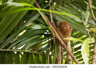 A Tarsier, the smallest primate in the world, in a tree in Bohol, Philippines.