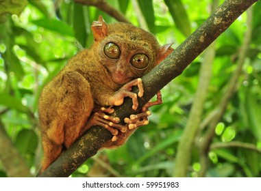 Tarsier (Tarsius Syrichta), the world's smallest primate in Bohol, Philippines