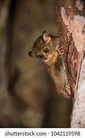 tarsius tarsier koboldmaki in indonesia sulawesi
