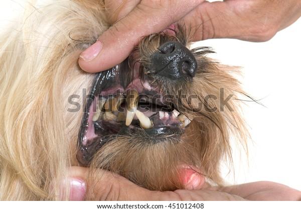 tartar teeth of old dog in studio
