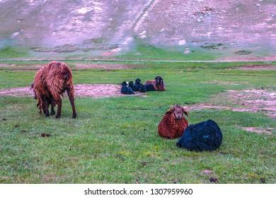Tash Rabat Caravanserai Black and Brown Colored Grazing and Relaxing Sheep