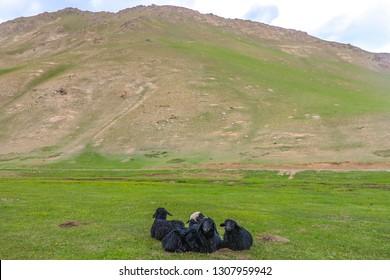 Tash Rabat Caravanserai Black Colored Grazing and Relaxing Sheep within Yurt Camp