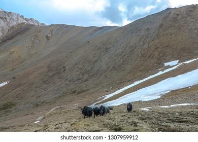 Tash Rabat Caravanserai Landscape with Snow Capped At Bashy Too Mountain Range Yak Herd