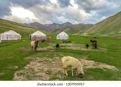 Tash Rabat Caravanserai White Black and Brown Colored Grazing and Relaxing Sheep within Yurt Camp