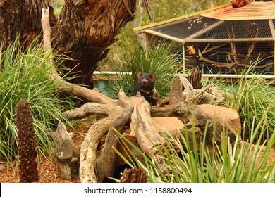 Tasmania devil at Bonorong wildlife sanctuary -  Tasmania - Australia