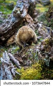 Tasmania Echidna Wild