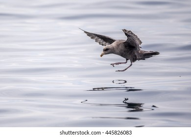 Tasmania Short-tailed Shearwater