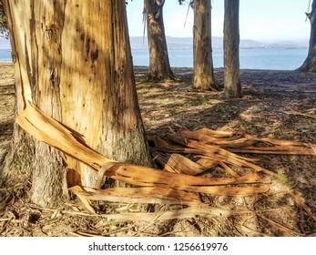 Tasmanian blue gum bark  peeling in large strips from the trunk