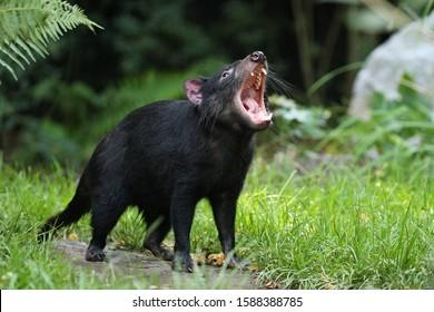 Tasmanian devil. Amazing creature pose in beautiful light. Fantastic scene with danger animal. Very rare and unique animal. Sarcophilus harrisii.