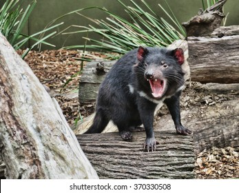 The Tasmanian Devil baring its teeth at the Australian Reptile Park, Somersby New South Wales, Australia