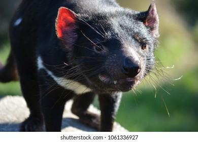 Tasmanian Devil in Christchurch, New Zealand