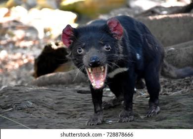 Tasmanian Devil, currently endangered, found in all Tasmanian habitats, having a fierce appearance