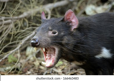 the tasmanian devil is growling and snarling fiercely