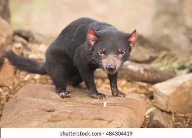 Tasmanian Devil in Hobart, Tasmania during the day.
