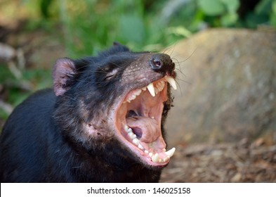 the tasmanian devil is letting out a long snarl