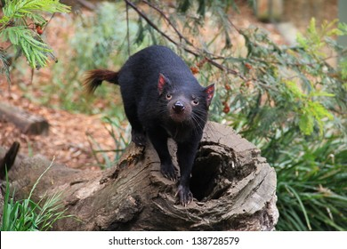 Tasmanian devil, little nocturnal Australian animal