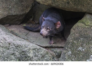 the tasmanian devil is a marsupial common to Tasmania, australia
