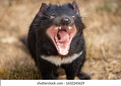 Tasmanian Devil with mouth open, Sarcophilus harrisii