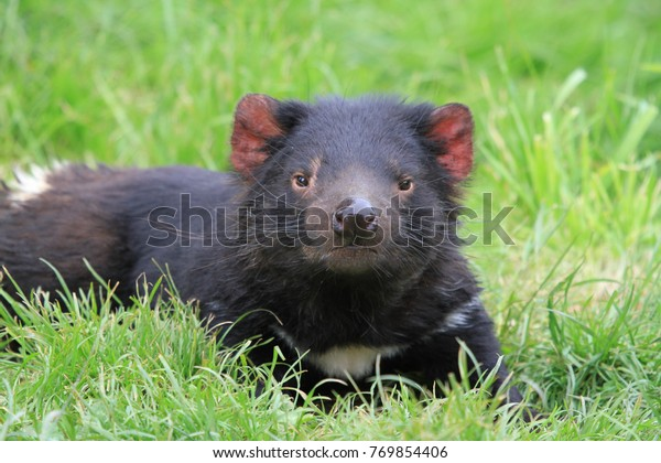 tasmanian devil on green grass in Tasmania