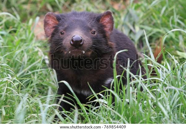 Tasmanischer Teufel auf grünem Gras in Tasmanien
