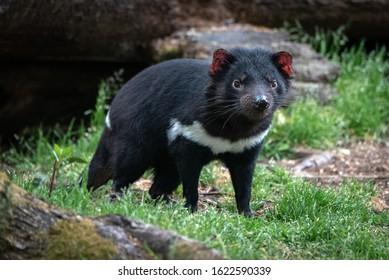 Tasmanian Devil in open woodland environment