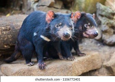 Tasmanian Devil pair in Australia
