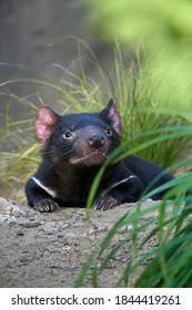 Tasmanian devil pup in the grass (Sarcophilus harrisii). Purinina or Tardiba called by Aborigins.