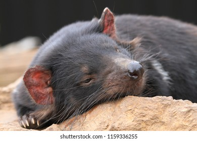 Tasmanian Devil relaxes in the sun