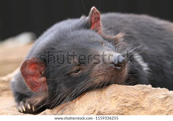 Tasmanian Devil relaxes in the sun