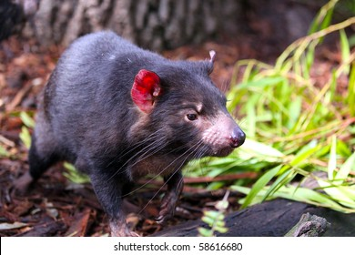 Tasmanian Devil running through vegetation - Shallow Depth of Field